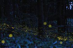 Les lucioles de Tsuneaki Hiramatsu