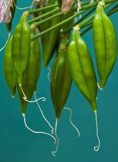 Agapanthus seed pods