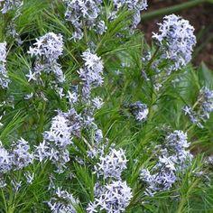 Amsonia hubrictii - Avant Gardens Nursery & Design