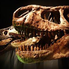 Tyrannosaurs #australianmuseum #dinosaur #skeleton