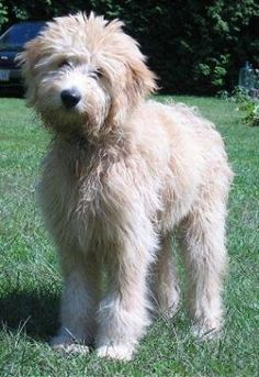 If I really wanted to get a dog, I'd pick this breed. A Goldendoodle!