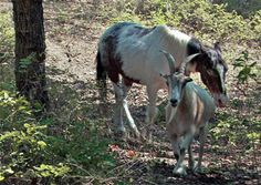 Jack-Charlie-pic   Jack the Goat and Charlie the Blind Horse