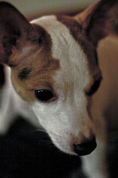 Koira katsoo - Dog
