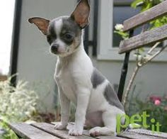 *Chihuahua - Love the color and markings.