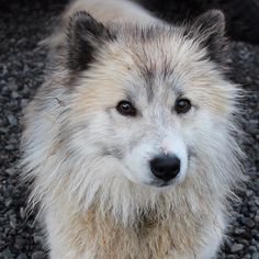 Brought to #Iceland by the Vikings - This is the Icelandic sheepdog
