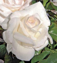 J&P Chardonnay™ Hybrid Tea Rose