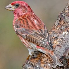 Purple Finch - State Bird of New Hampshire State Birds, Backyard Birds, Wild Birds, New Hampshire, Bird Feathers, Beautiful Birds, Animals And Pets, Wings, Purple