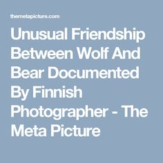 Unusual Friendship Between Wolf And Bear Documented By Finnish Photographer - The Meta Picture