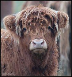Provide a caption. (Highland cow)