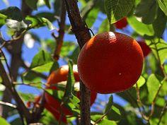 File:Oranges fruit trees.jpg