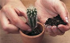 Cactus - can be grown in the winter