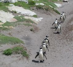 African Penguins at Bettys Bay near Cape Town in South Africa. African Penguin, Seaside Village, Cape Town South Africa, Red Sea, Africa Travel, Holiday Destinations, West Coast, Animal Pictures, Adventure Travel