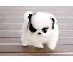 Micro Teacup Maltese Puppies I don't generally like