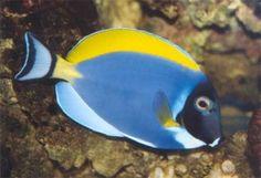Allevamento pesci Acanthurus