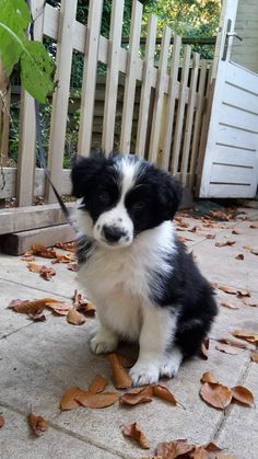 Border Collie Puppy Joey 7 weeks – Border Collie – You are in the right Cute Dogs Breeds, Cute Dogs And Puppies, I Love Dogs, Pet Dogs, Dog Breeds, Doggies, Border Collie Puppies, Collie Dog, Australian Shepherds