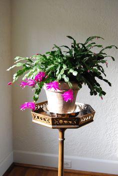 Love a Christmas cactus