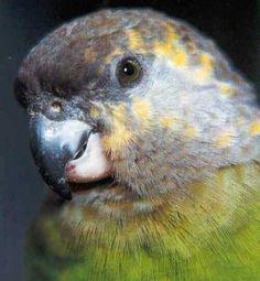 Niam Niam parrot (Poicephalus crassus)