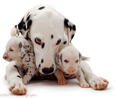 Dalmatian Dogs | Dogs: Dalmatian and pups photo - WP01385
