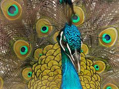 Vanity = Peacock by dee_r, via Flickr.