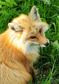 beautiful fox  As they should be, not wearing them to show how glam you Think you are