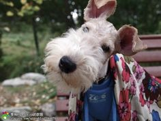 wire fox terrier. I wish I could have everyone. Love them so much
