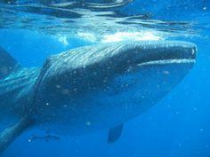 Ti piacerebbe vedere le balene nuotare? Con  Press tours puoi http://blog.presstours.it/2014/01/30/samana-repubblica-dominicana-whale-whatching-di-balene-megattere-in-amore/