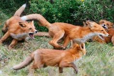 Animal pictures, nature animals, animals and pets, cute animals, fantastic Nature Animals, Animals And Pets, Baby Animals, Cute Animals, Fantastic Fox, Fabulous Fox, Cute Animal Photos, Animal Pictures, Fuchs Baby