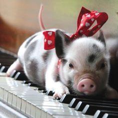 All dressed up for her performance! #BabyAnimals #SpottedPigs #piglets facebook.com/sodoggonefunny