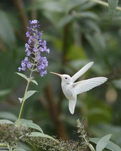 Albino Ruby-throated Hummingbird