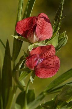 La flor del guisante