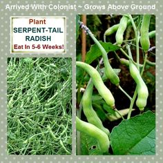 SERPENT-RADISH  RARE TOP SET EDIBLE PODS READY TO EAT 5-6 WEEKS FROM PLANTING!  You wont find these ancient heirloom wonders in your local garden