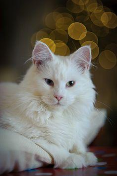 Lulu. Christmas cat
