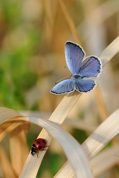 Blue and Red   チョウとテントウムシ by myu-myu, via Flickr.