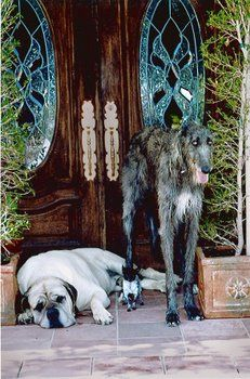 Scottish Deerhound a Mastiff and  Chihuahua Come on in! I would love to have these three dogs.
