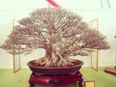 "31 Likes, 5 Comments - Hao Lung (@lung.hao) on Instagram: ""如果路邊行道樹能做成如此就太美啦! 榕樹是我的盆栽啟蒙,也是我喜愛的樹種之一。 #盆栽 #盆景 #榕樹 #bonsai #ficus_microcarpa #Taiwan_bonsai"""