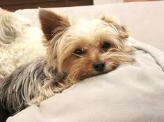 Yorkie - I really want one! Even if Justin hates them. I'm a behavior analyst, I'm pretty sure I could train it to stop barking! That's basically my job