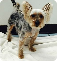 Newark, NJ - Yorkie, Yorkshire Terrier Mix. Meet Harley, a dog for adoption. http://www.adoptapet.com/pet/12700692-newark-new-jersey-yorkie-yorkshire-terrier-mix