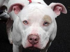 POPEYE is an adoptable Pit Bull Terrier Dog in New York, NY.  ...
