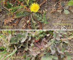 Comparison of Dandelion and Sow Thistle, © B. Radisavljevic