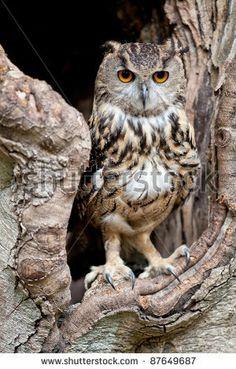 Beautiful European eagle owl in a tree hollow by Marcin Sylwia Ciesielski, via Shutterstock