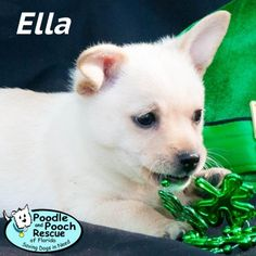 Ella is a growing Maltese and Terrier blend puppy girl born in January 2017.  Poodle and Pooch Rescue - Adoptable Dogs - www.pprfl.org
