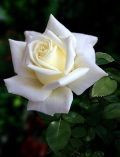 Latest Pics Hybrid Tea Roses names Thoughts Multiple tea may be the earliest number of rose bushes classified as modern-day back garden roses. Beautiful Rose Flowers, Flowers Nature, Exotic Flowers, White Roses, White Flowers, Rose Reference, Rose Pictures, Growing Roses, Hybrid Tea Roses