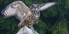 Uhu - European Eagle Owl by Tomas Hilger