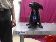 Houston - This DOG - ID#A416621 I am a male, black Australian Shepherd and Labrador Retriever. The shelter staff think I am about 13 weeks old. I have been at the shelter since Oct 01, 2014.