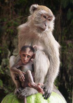 Baby with Mom Penguin Parent Monkeys at Batu Caves near Kuala Lumpur_ West Malaysia tigers Primates, Mammals, Baby Animals, Cute Animals, Wild Animals, Pet Monkey, Mundo Animal, Fauna, Mothers Love