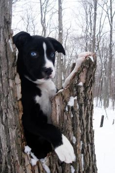 Pitbull and husky mix. I don't like Huskys much but love pit and husky mix. I don't like Huskys much but love pits Husky Pitbull Mix, Pitbull Pics, Pitbull Pictures, Puppy Pictures, Cute Puppies, Dogs And Puppies, Baby Animals, Cute Animals, Dog Mixes