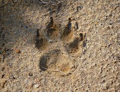 What Animal Made This Track? - Tracking Animals - How To Read Animal Tracks - for diarama, and to make large tracks from the door into the classroom on the floor? Bushcraft Skills, Bushcraft Gear, Australian Plants, Australian Animals, Shelters In The Woods, Native Australians, Animal Tracks, Primitive Survival, Wilderness Survival