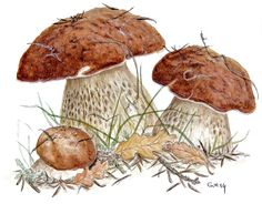 Boletus Edulis (Watercolor)