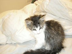My baby maine coon right after a bath :) They love bath time!!!