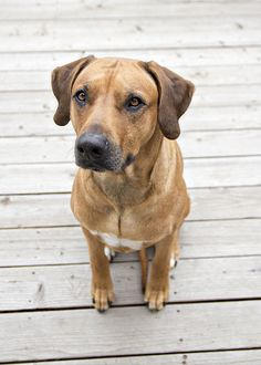 """Rhodesian Ridgeback,  """"What a handsome face""""  IMG_5925 by Photo Paragon, via Flickr,"""
